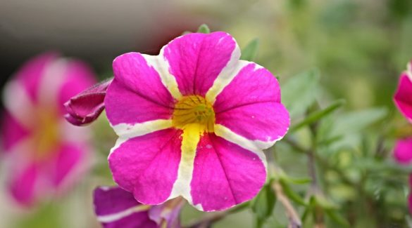 Petunie (Petunia-Hybriden)