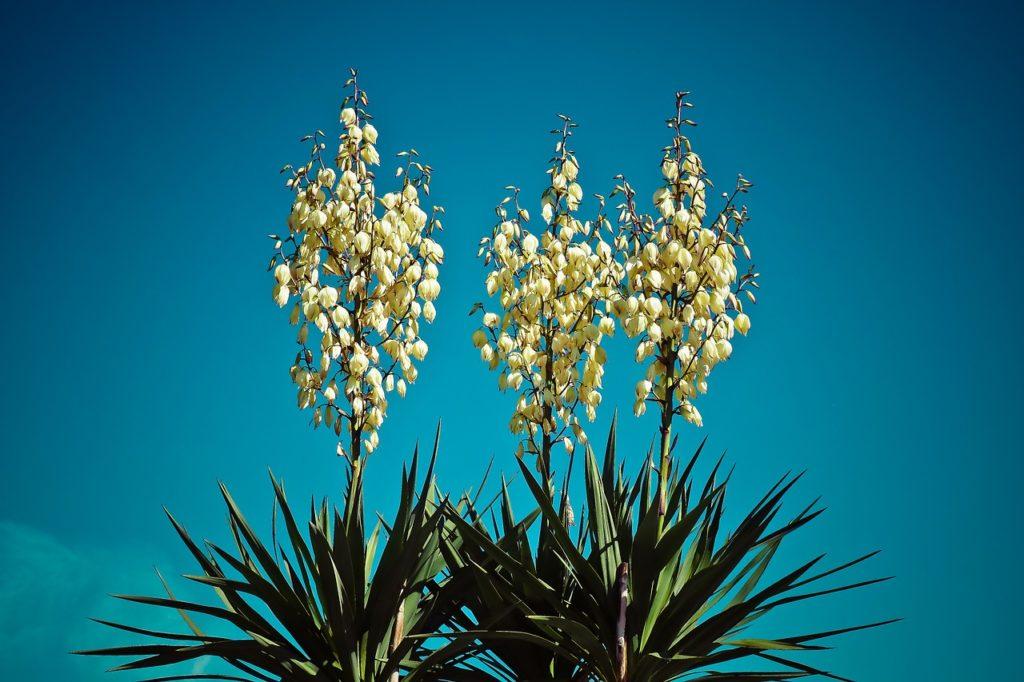 Palmlilie (Yucca filamentosa L.)